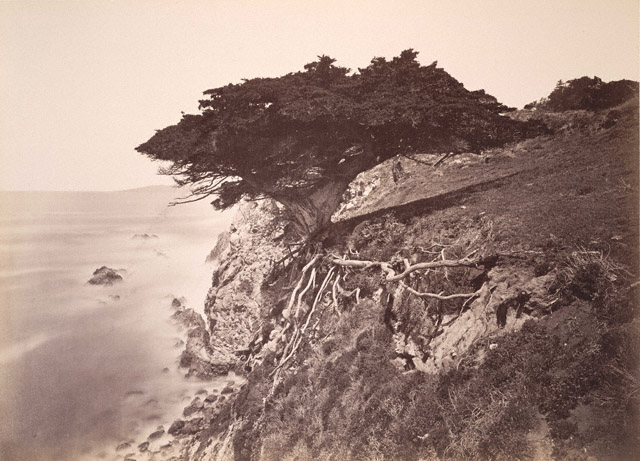 "Carleton Watkins. ""Cypress Tree at Point Lobos, Monterey County"" 1883 - 1885"