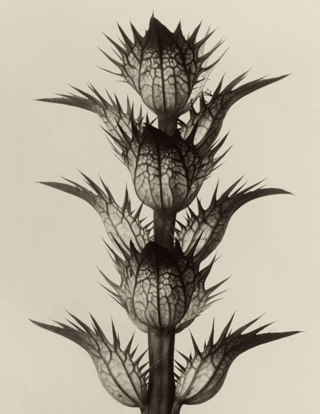 Karl Blossfeldt (1865-1932) 'Acanthus - Bear's breech' before 1928