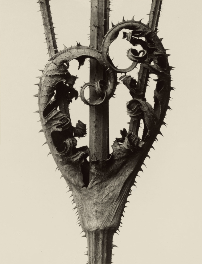 Karl Blossfeldt (1865-1932) 'Dipsacus laciniatus - Cutleaf Teasel' before 1928