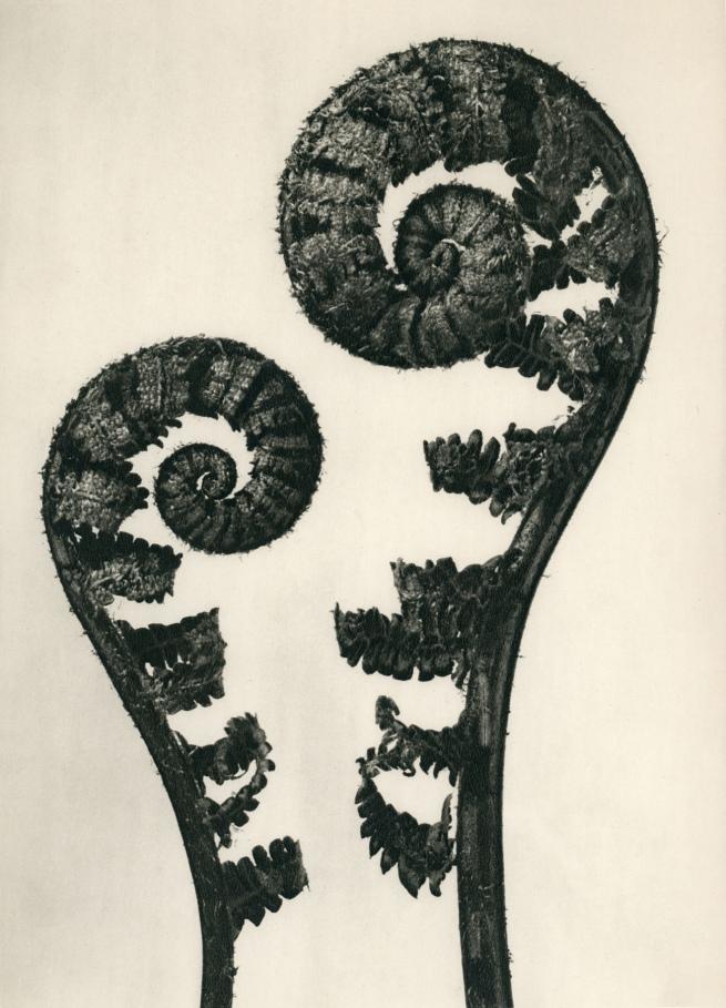 Karl Blossfeldt (1865-1932) 'Dryopteris filix mas - Common male fern' before 1928