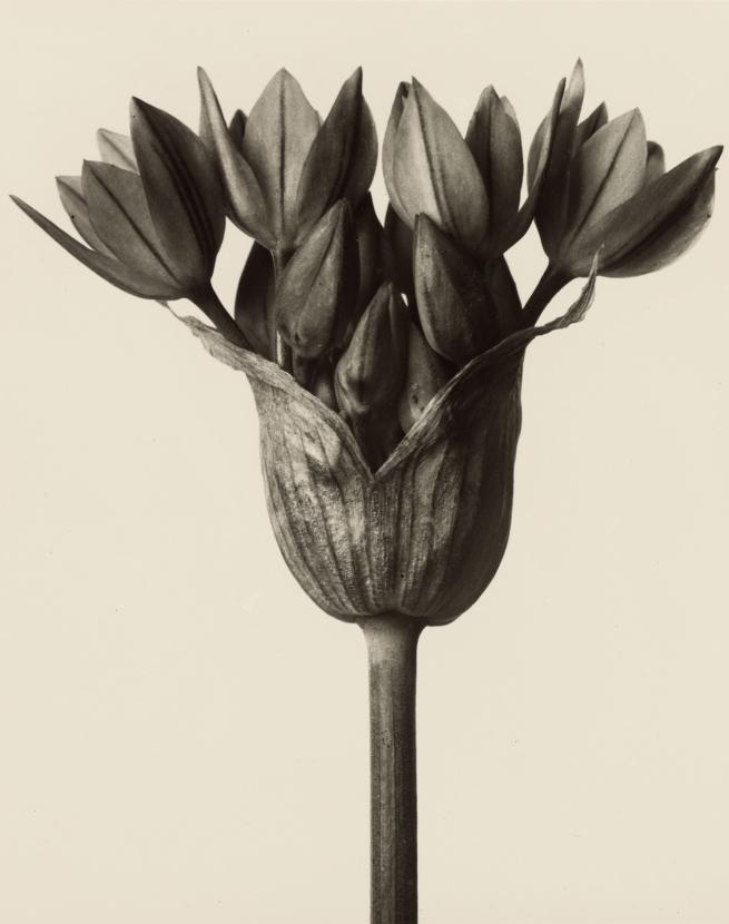 Karl Blossfeldt (1865-1932) 'Allium ostrowskianum - garlic plant' before 1928