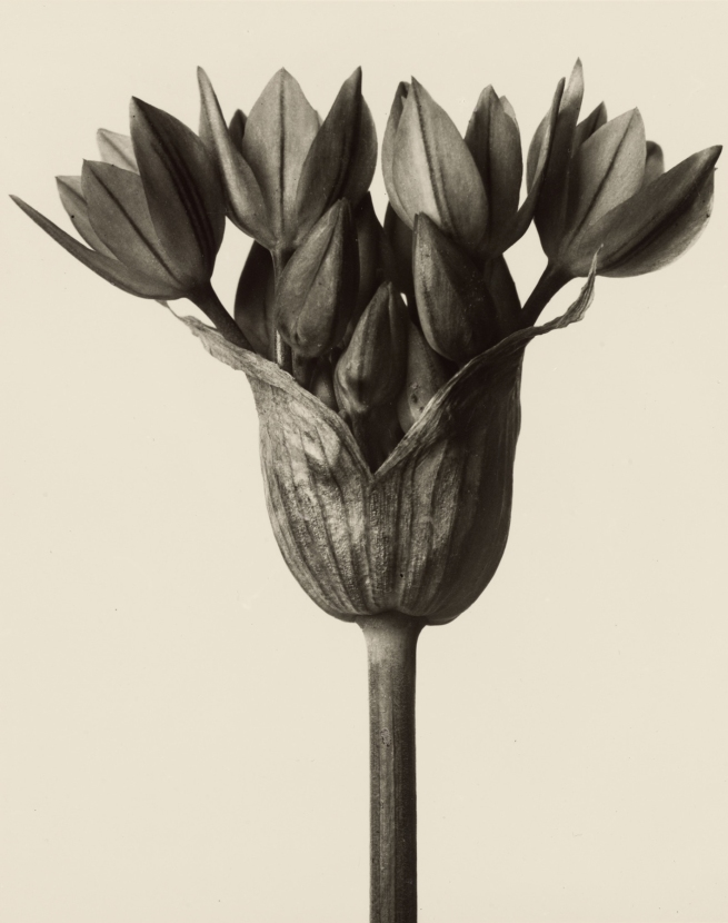 Karl Blossfeldt (1865-1932) 'Allium ostrowskianum - garlic plant' before 1928