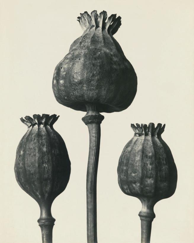 Karl Blossfeldt (1865-1932) 'Papaver Orientalis - Oriental Poppy capsules' before 1928