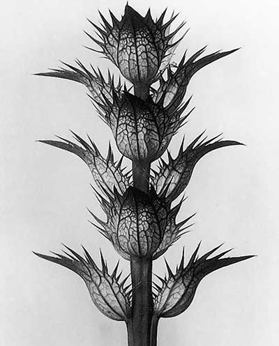 Karl Blossfeldt from 'Art Forms in Nature'