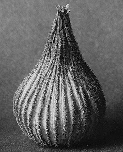 Karl Blossfeldt from 'Art Forms in Nature'