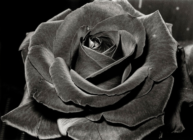 Daidō Moriyama (Japanese, born 1938) 'Untitled (Rose)' 1984
