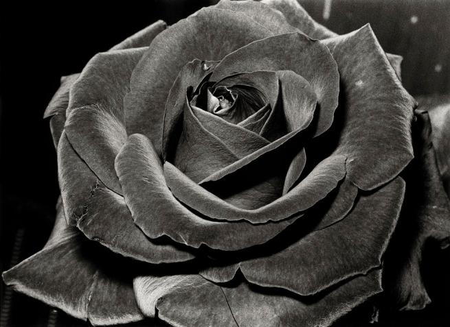 Daidō Moriyama (Japanese, born 1938) 'Untitled (Rose)' 1984