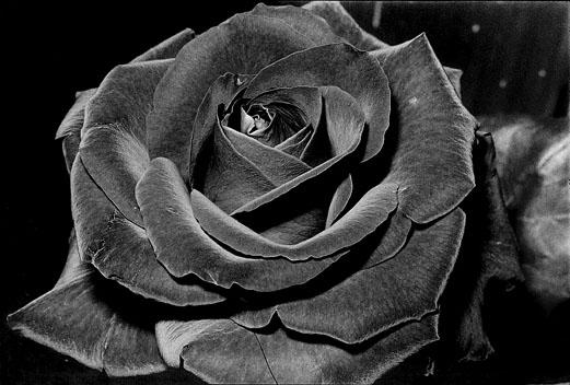 untitled-rose-1984