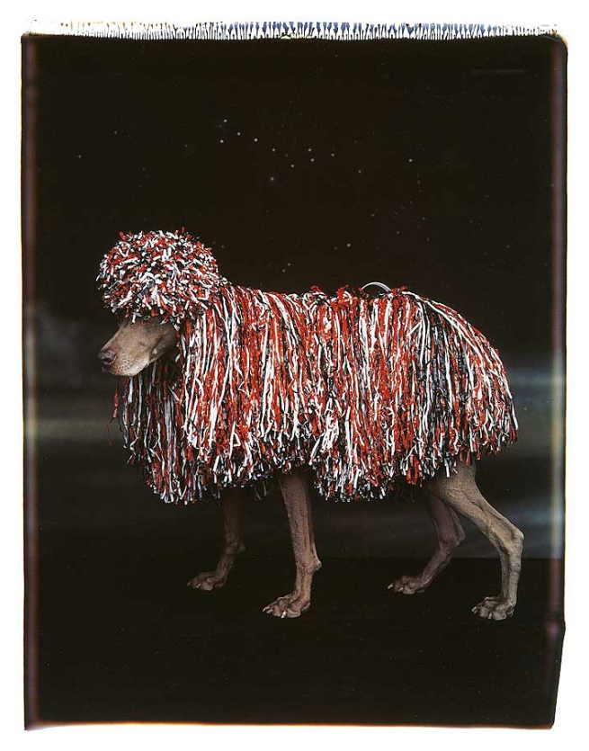 William Wegman. 'Patriotic Poodle' 1994