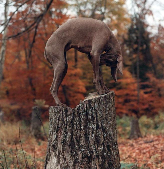William Wegman. 'U-Tree' 1992