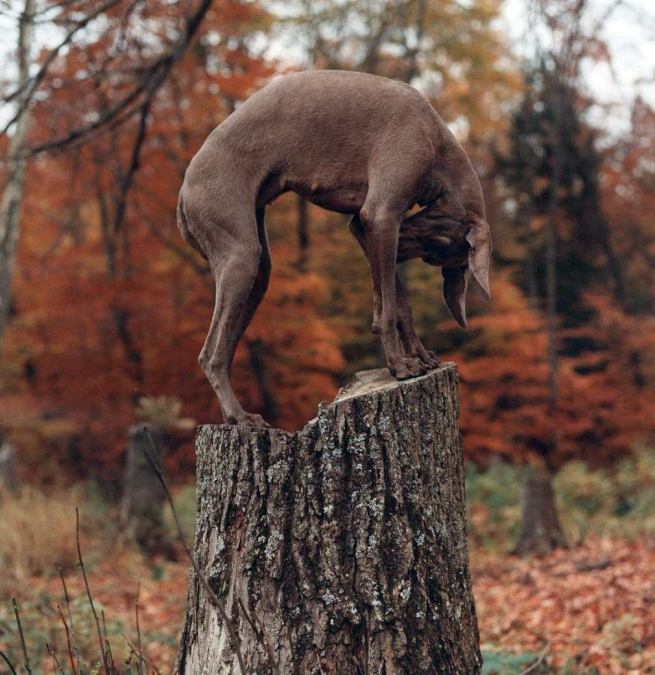 William Wegman. 'U-Tree' 1992