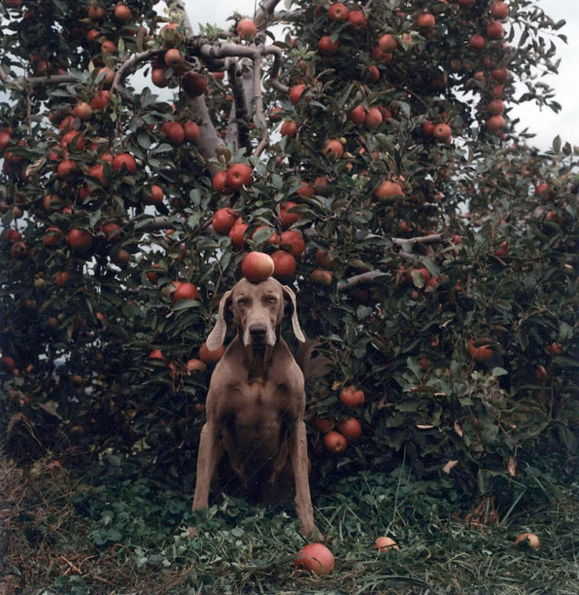 William Wegman. 'Untitled (Ghent Fay with Apples)' 1990