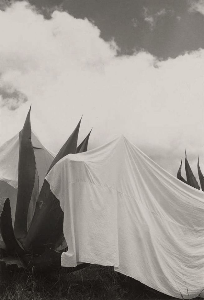 Manuel Alvarez Bravo (Mexican, 1902-2002) 'Las lavanderas sobreentendidas (The Washerwomen Implied) Draped Yucca Plants, Mexico' 1932