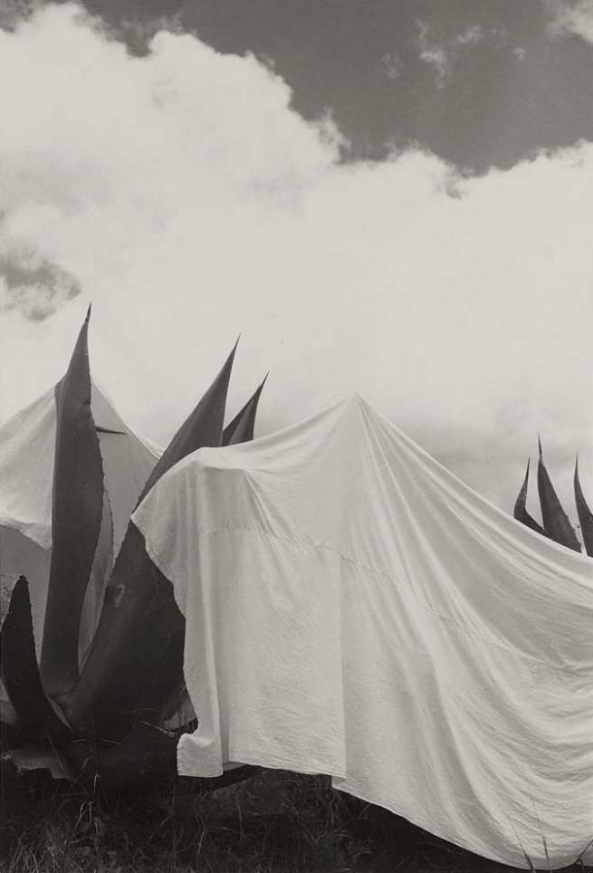 Manuel Alvarez Bravo (Mexican, 1902-2002) 'Las lavanderas sobreentendidas (The Washerwomen Implied) Draped Yucca Plants, Mexico' 1932