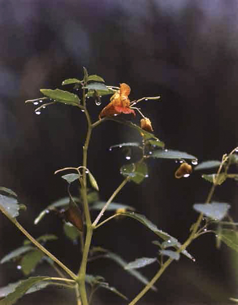 Jeannette Klute (American, 1918-2009) 'Jewel Weed' Nd (early-mid 1950s)
