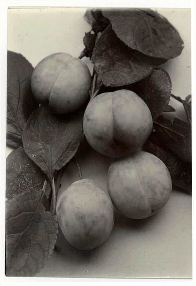Charles Jones. 'Plum, Laxton Early Red' c.1910