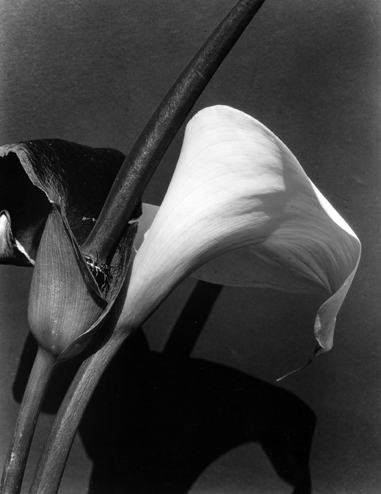 Imogene Cunningham. 'Black and White Lilies III' 1928