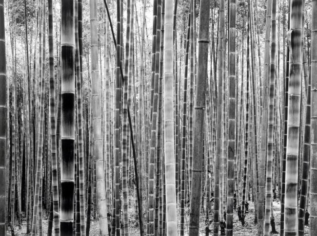 Dae-Soo KIM 'Untitled' from the series 'Bamboo' (1998-2008) 1999