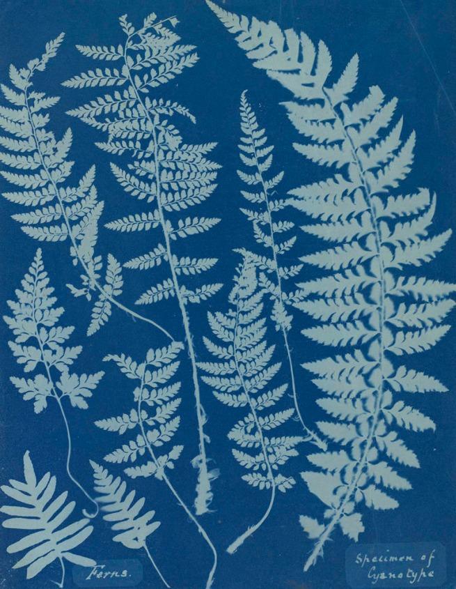 Anna Atkins(British, 1799-1871) 'Ferns,Specimen of Cyanotype' 1840s