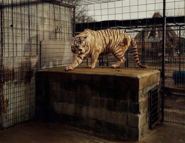 Taryn Simon. 'White Tiger (Kenny), Selective Inbreeding, Turpentine Creek Wildlife Refuge and Foundation, Eureka Springs, Arkansas' 2006/2007