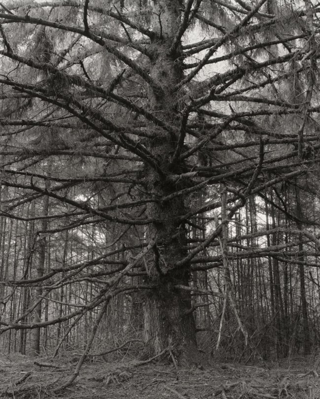 Robert Adams. 'Sitka spruce, Cape Blanco State Park, Curry County, Oregon' 1999-2000