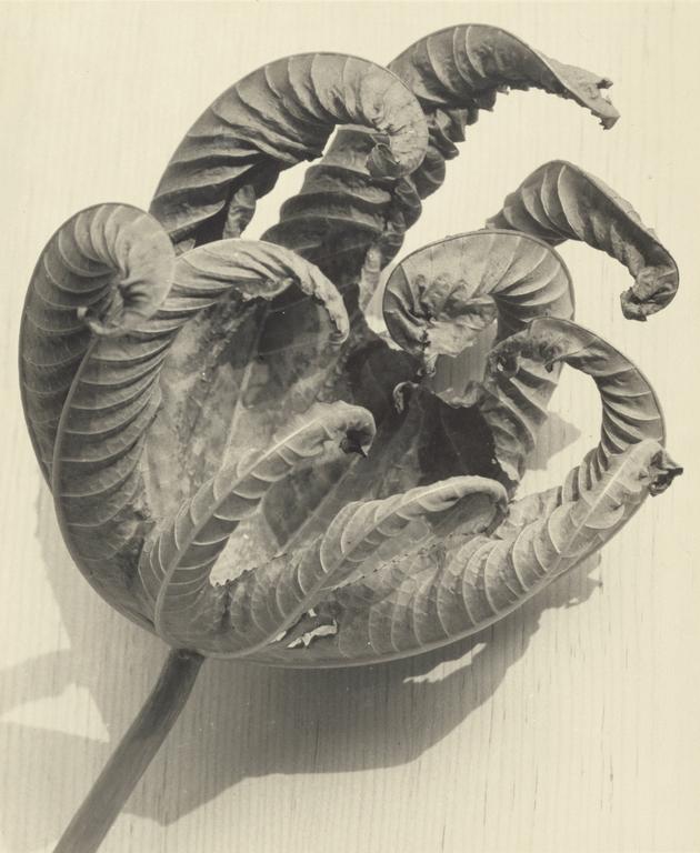 Man Ray (Emmanuel Radnitzky) (American, 1890-1976) 'Dead Leaf' 1942