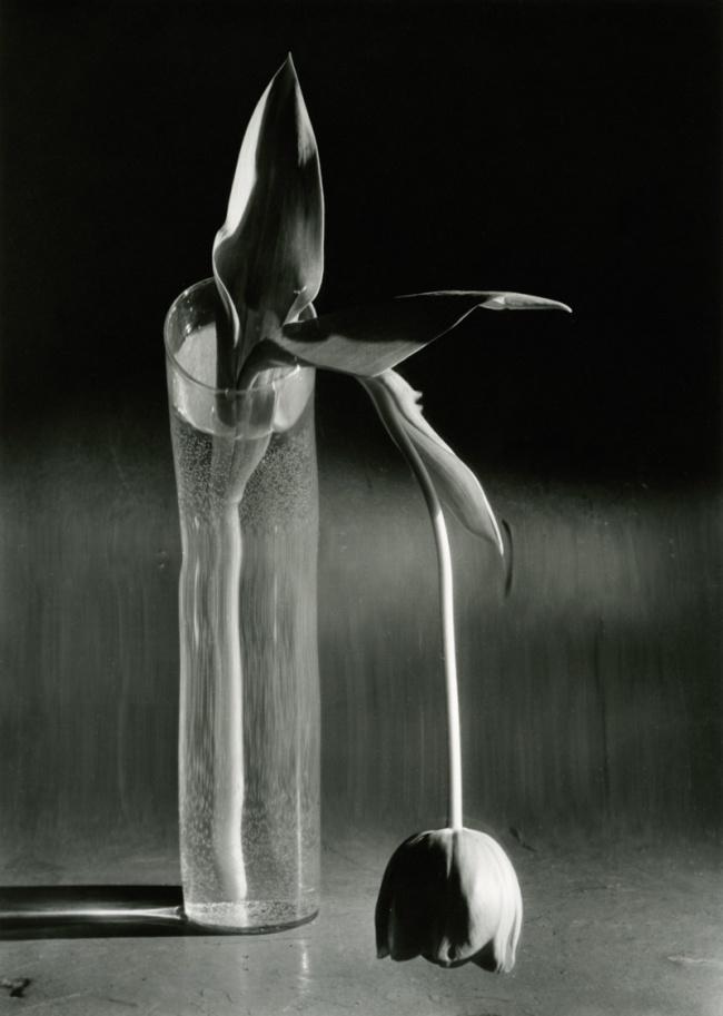 André Kertész. 'Melancholic Tulip' New York, 1939