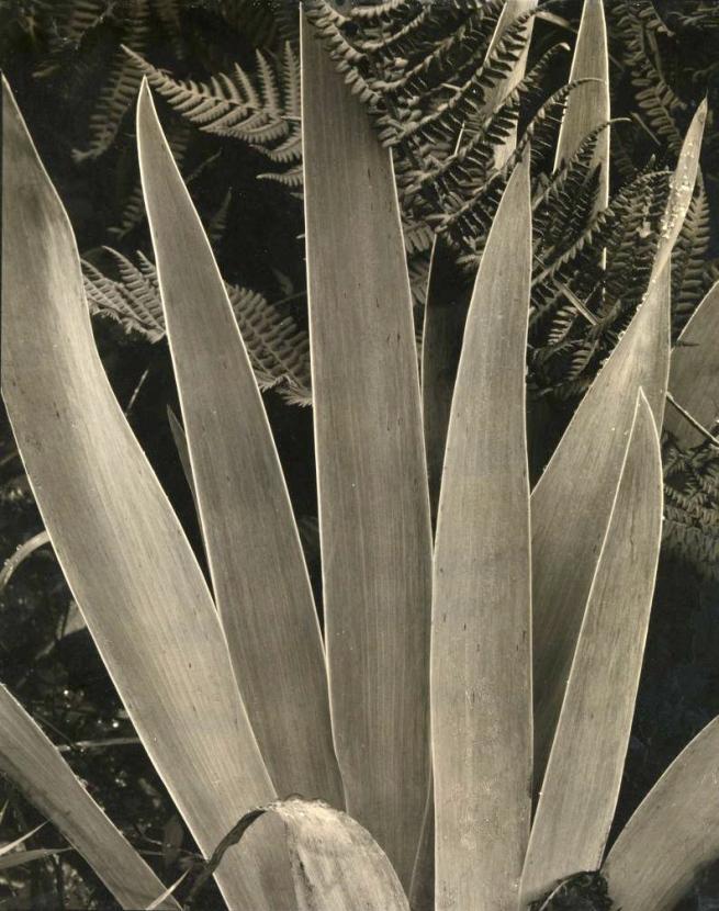 Paul Strand (American, 1890-1976) 'Wild Iris, Maine' 1927-28