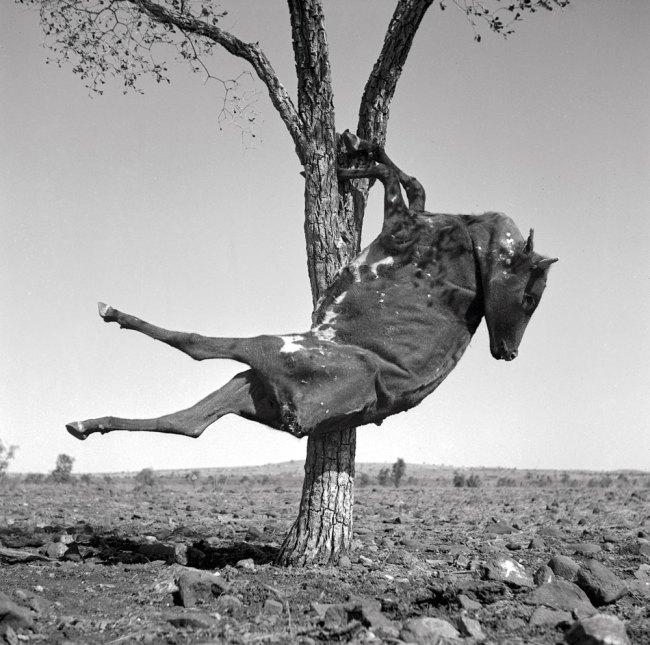 Sidney Nolan(Australian, 1917-1992) 'Untitled (calf carcass in tree)' 1952