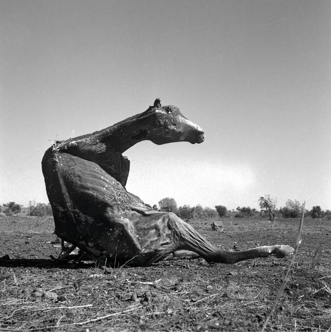 Sidney Nolan(Australian, 1917-1992) 'Untitled (desiccated horse carcass sitting up)' 1952