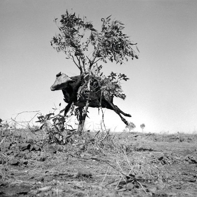 Sidney Nolan(Australian, 1917-1992) 'Untitled (cow in tree)' 1952