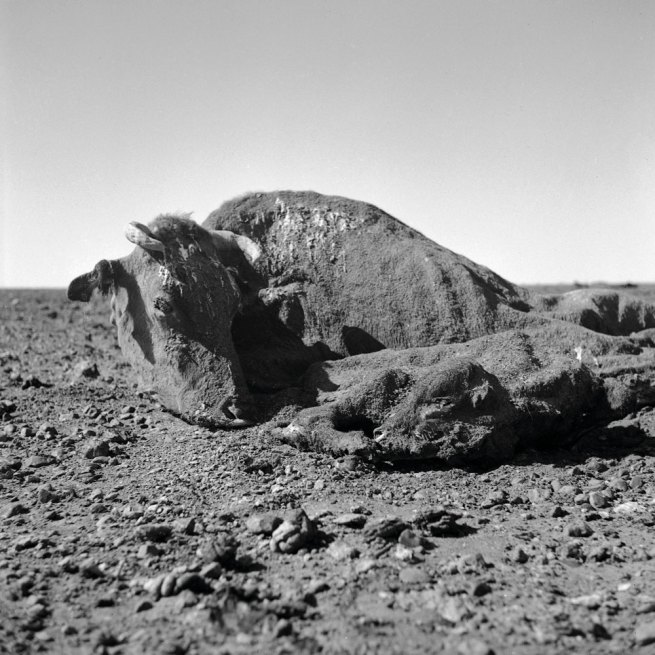 Sidney Nolan (Australian, 1917-1992) 'Untitled (cow and calf carcass covered in dirt I)' 1952