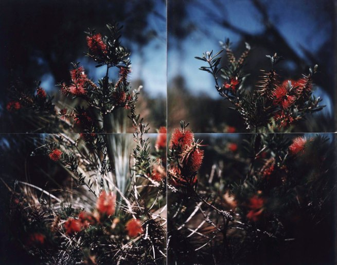 Douglas Holleley, 'Bottle-brush near Sleaford Bay, South Australia' 1979