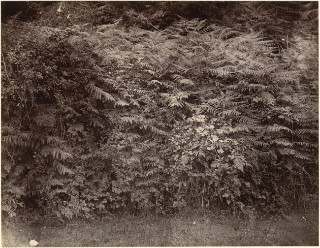 Henry White. 'Ferns and brambles' 1856