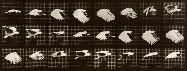 Eadweard Muybridge. Cockatoo; flying. Plate 759