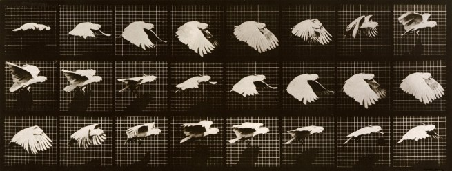 Eadweard Muybridge. Cockatoo; flying. Plate 759