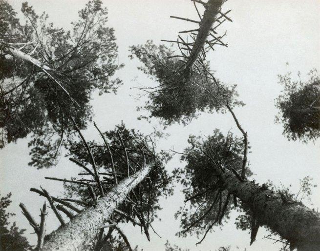 Alexander Rodchenko. 'Pine trees, Pushkino', 1927