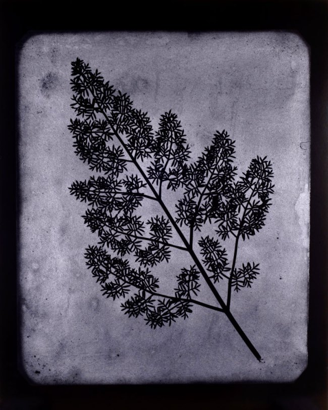 Hiroshi Sugimoto. 'A Stem of Delicate Leaves of an Umbrellifer, circa 1843-1846' 2009