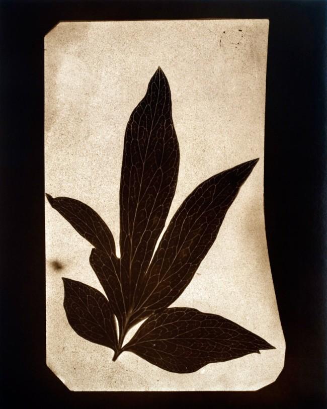 Hiroshi Sugimoto. 'Leaves of Paeony, June 1839' 2009