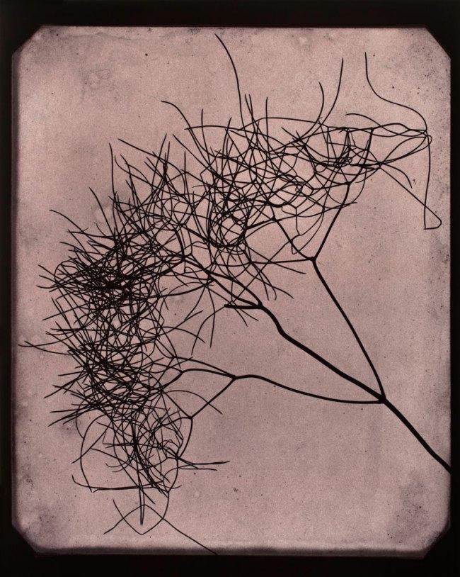 Hiroshi Sugimoto. 'Wild Fennel, circa 1841-1842' 2009