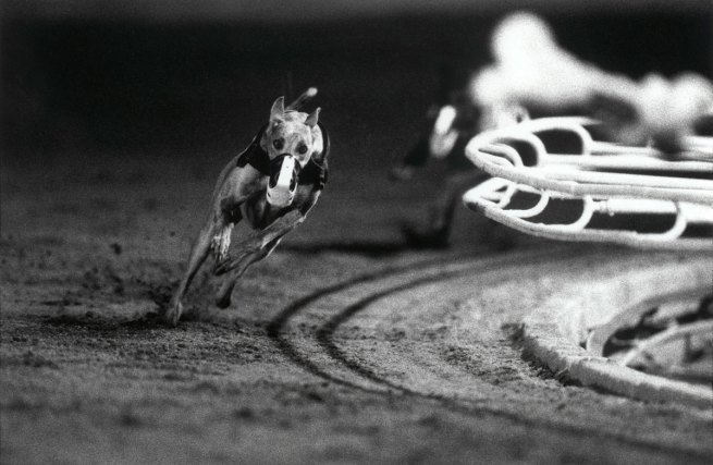 Christopher Williams (American, born 1956). '3 White (DG's Mr. Postman) Fourth Race, Phoenix Greyhound Park, Phoenix, Arizona, August 22, 1994' 1994
