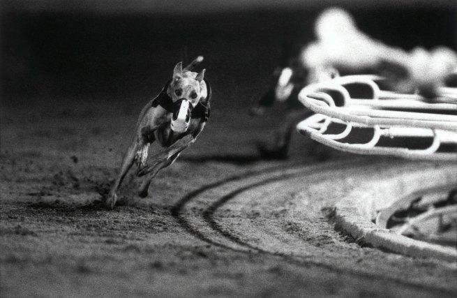 Christopher Williams (American, born 1956). '3 White (DG's Mr. Postman) Fourth Race, Phoenix Greyhound Park, Phoenix, Arizona, August 22, 1994' 1994