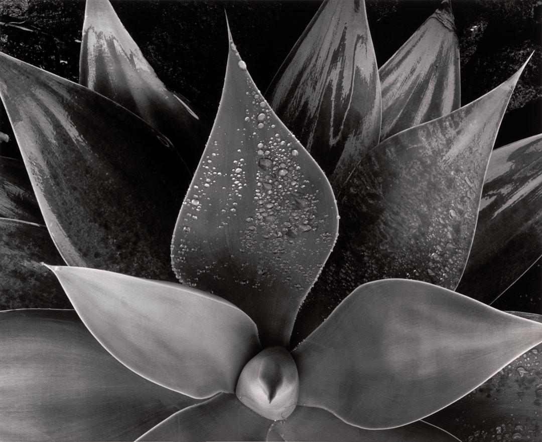 Edward Weston New York Museum Of Modern Art Exposition