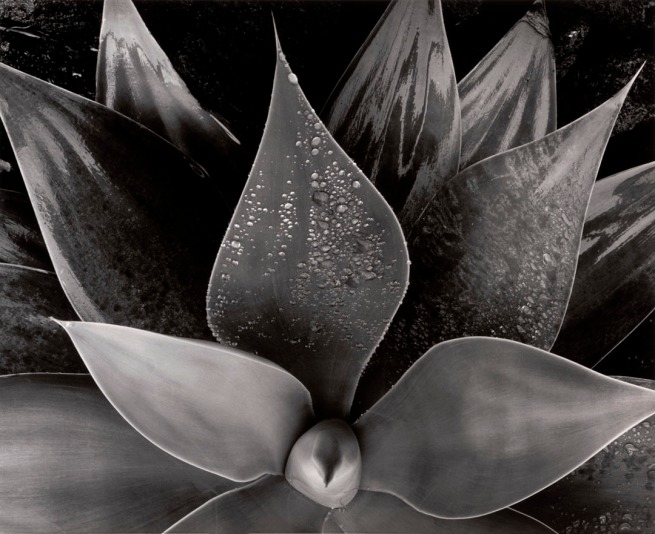 Brett Weston (American, 1911-1993) 'Botanical' c. 1975