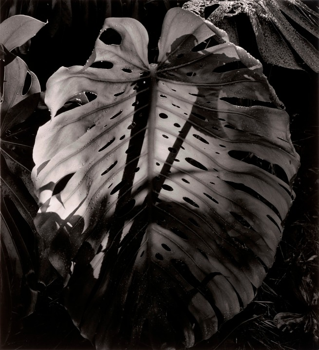 Brett Weston (American, 1911-1993) 'Botanical' c. 1985