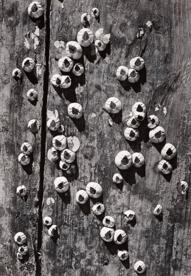 Ansel Adams. 'Barnacles, Cape Cod' 1938