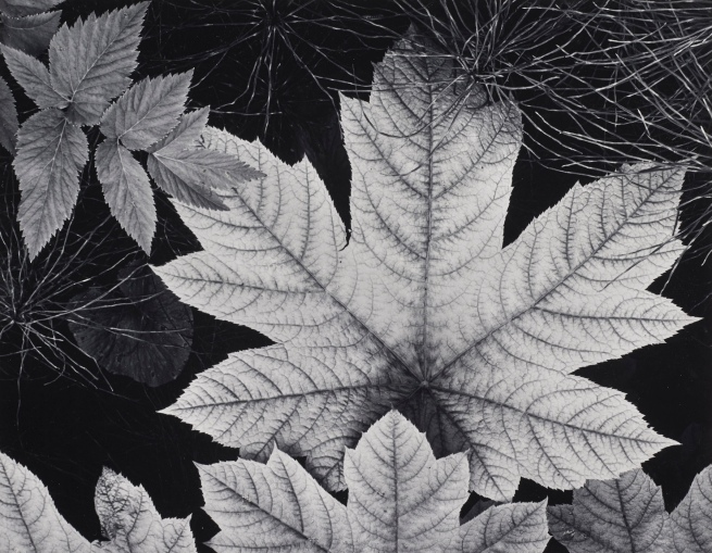 Ansel Adams (American, 1902-1984) 'Leaf, Glacier Bay National Monument, Alaska' c. 1948
