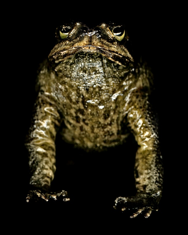 Gregory Elms. 'Cane Toad, Bufo Marinus' 2011