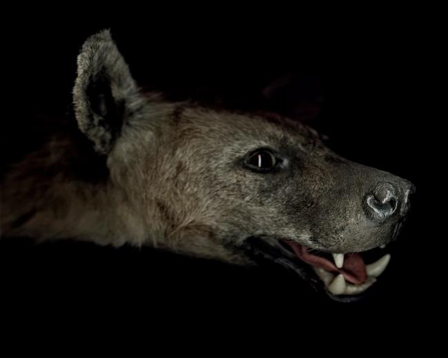 Gregory Elms. 'Spotted Hyaena, Crocuta Crocuta' 2010