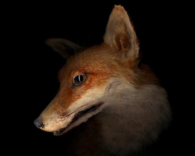Gregory Elms. 'Red Fox, Vulpes Vulpes' 2010